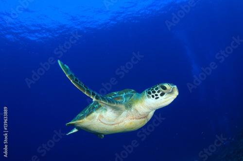 Poster Tortue Green Sea Turtle diving in ocean