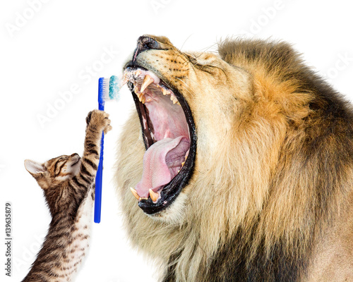 Staande foto Leeuw Cat Brushing Lion's Teeth