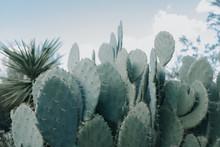 Flat Cactus
