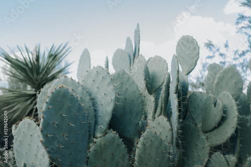 In de dag Cactus Flat Cactus