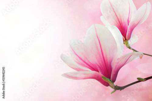 Canvas Prints Magnolia Magnolia flowers spring blossom background