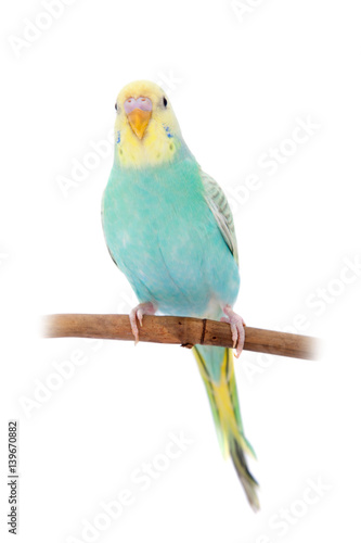 Poster Vogels, bijen Rawinbow budgerigar on white