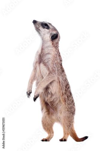 Fototapeta The meerkat or suricate on white