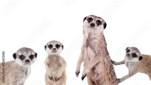 Fotografia  The meerkats on white