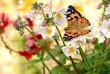 Fototapeta Natura - Schmetterling 282