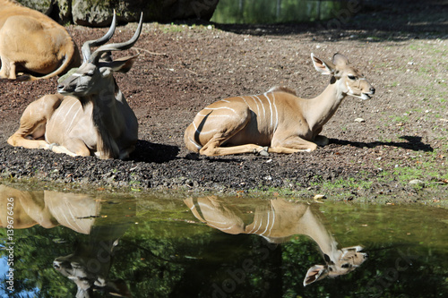 TIERE_2166_grosser_Kudu