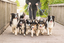 Walk With Many Dogs - Border Collies