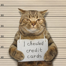 The Handsome Cat Chewed Credit Cards. He Was Arrested For This.