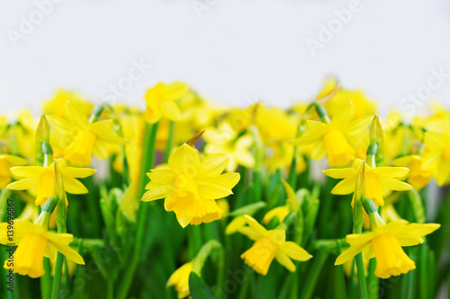 In de dag Narcis Yellow narcissuses on a white background