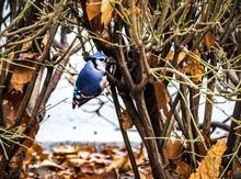 Blue Jay Bird At Central Park - New York, USA