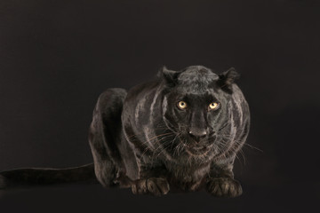 FototapetaSchwarzer Panther als Studioaufnahme
