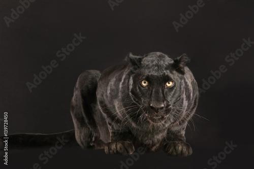 Fotografia  Schwarzer Panther als Studioaufnahme