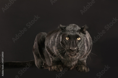 Schwarzer Panther als Studioaufnahme Wallpaper Mural