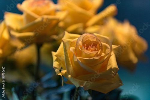 Yellow rose of texas buy this stock photo and explore similar yellow rose of texas mightylinksfo