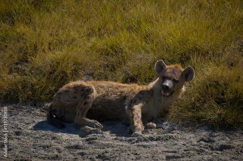 Spoed Foto op Canvas Hyena Hyena