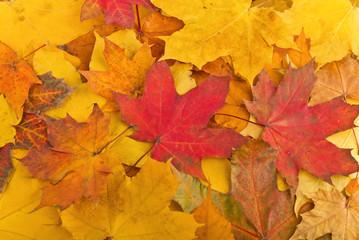 Naklejka na ściany i meble Maple leaves in autumn colours