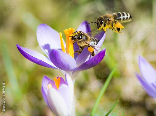 Plakat Latający honeybee zapyla purpurowego krokusa kwiatu