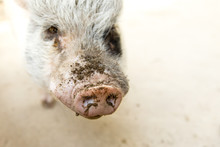 Portrait Of Pot Belly Pig With Dirt On Snout