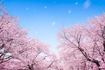 Japanische Kirschblüte 桜 im Frühling