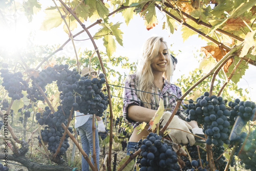 Fotomural  group of people harvesting grapes in a vineyard