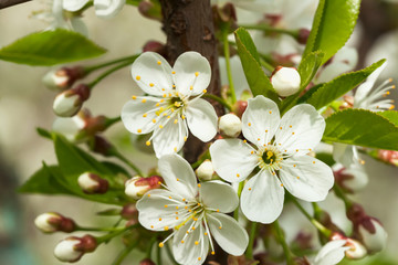 Fototapeta Do biura White sweet cherry blooming close-up, natural background. Concept of beautiful nature spring background. Seasons, gardening, admiring flowers