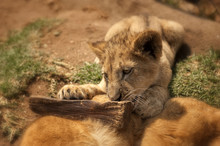 Lion Cub Chewing On Wood