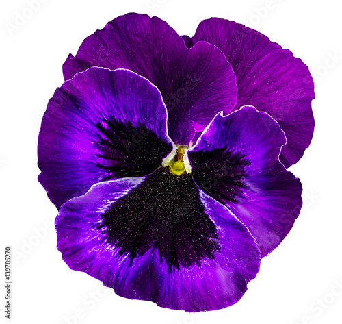 Ingelijste posters Pansies Pansy flowers isolated on white