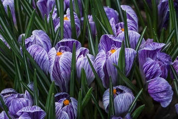 Obraz na Szkle Close-up of lush vibrant violet and white crocuses, the first harolds of spring, at greenhouse.
