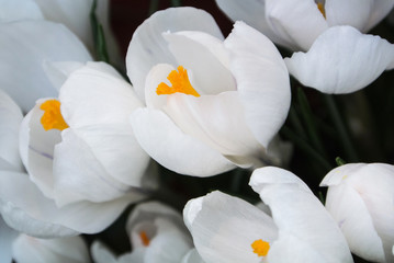 Obraz na Szkle Close-up of lush vibrant white crocuses on dark background at greenhouse.