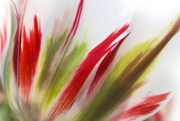 Obraz na Szkle Close-up of fresh lush white transparent tulip petals with red and light green details and streaks, a blurred floral background with details.