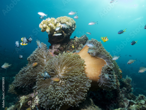 Foto op Plexiglas Onder water Beautiful coral reef with Anemones and fish, Mozambique