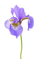 Iris Flower on White