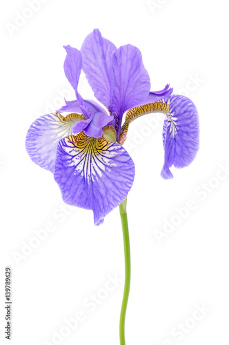 Foto op Plexiglas Iris Iris Flower on White