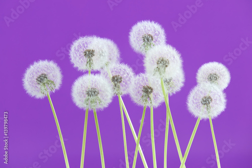 Spoed Foto op Canvas Violet Dandelion flower on purple color background, group objects on blank space backdrop, nature and spring season concept.
