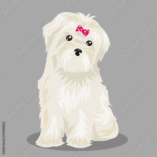Fototapeta white bichon frise dog at one color background