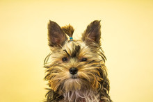 Yorkshire Terrier Looking At T...