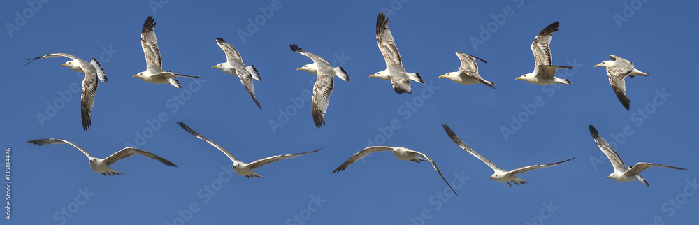 Seagull flying sequence against blue sky