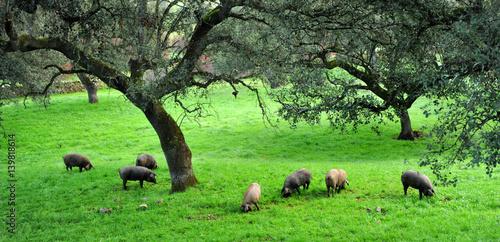 Cuadros en Lienzo Cerdos ibéricos de pata negra, Sierra de Huelva, España