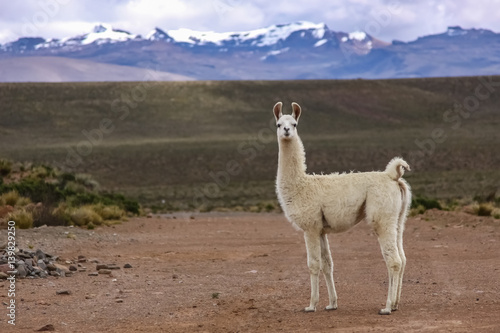 Fotobehang Lama White Lama in Altiplano landscape, mountain range background, Reserva Nacional Salinas - Aguada Blancas near Arequipa, Peru