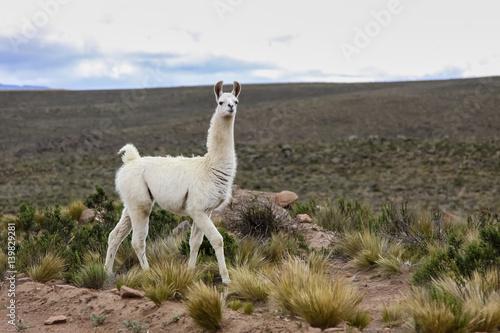 Recess Fitting Lama White Lama in Altiplano landscape, Reserva Nacional Salinas - Aguada Blancas near Arequipa, Peru