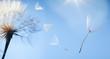 Leinwanddruck Bild - flying dandelion seeds on a blue background