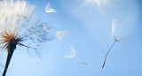 Fototapeta Puff-ball - flying dandelion seeds on a blue background