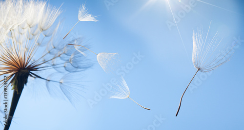 Staande foto Paardebloem flying dandelion seeds on a blue background