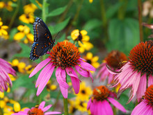 Red Spotted Purple Butterfly P...