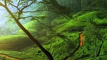 Idyllic Landscape Of Tea Field...