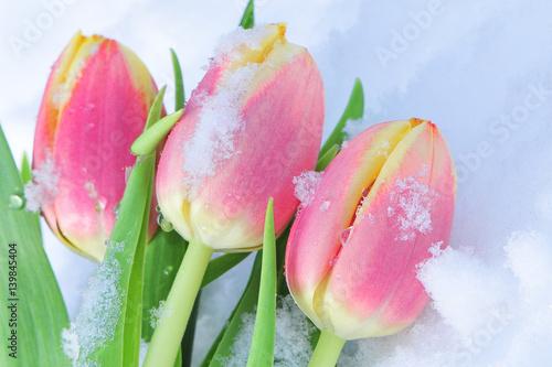 Pinkfarbene Tulpen im Schnee - Winter ade - hallo Frühling! Wallpaper Mural