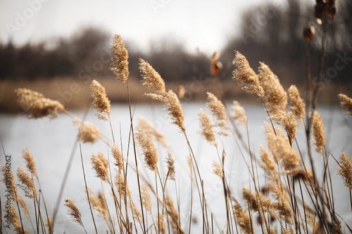 Beautiful reed as background at windy lake Fototapeta