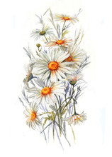 Hand-drawn Watercolor Tender Summer Blossom. Artistic Daisies Flowers. Wild Chamomile Drawing. Natural Illustration For The Decorative Design On The White Background.