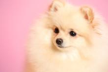 Pomeranian Spitz Dog On Color ...