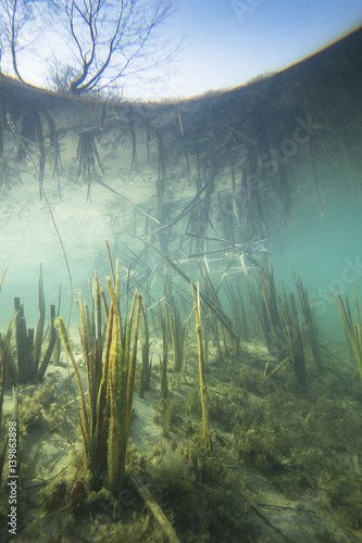 Foto  Beautiful and romantic underwater landscape with reed (Typha) in the clear pound